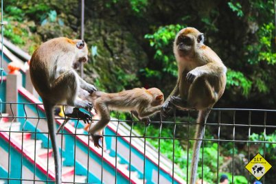 Monkeys batu caves